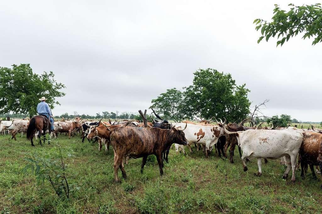 Harold Bettencourt cattle rancher